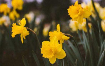 Wash Hands, Consider Daffodils